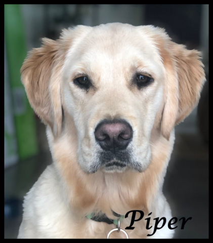 Piper Therapy Dog
